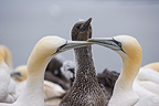 Pair of Northern gannets with their young Scotland (Northern Gannet )