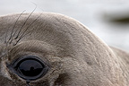 Close shot of a Southern elephant seal eye Falkland Islands (Southern elephant seal )