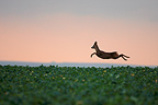 Roe deer jumping in a field, Marne, France (Roe deer)