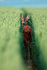 Female Roe deer walking in a wheat field, Marne, France (Roe deer)