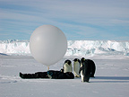 Emperor penguins looking at a men holding a sounding-balloon (Emperor penguin)