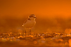 Kentish plover at sunset France (Kentish Plover)