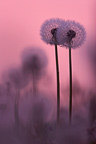 Dandelions at nightfall Brenne