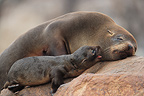 Southern Fur Seal and young Reserve Punta Coles Peru (Southern Fur Seal)