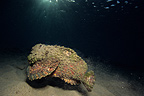 Stonefish swimming on sand Red Sea Egypt (Stonefish)