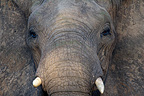Head of African elephant Kruger National Park (African elephant)
