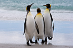 Three King penguins on a beach in Falkland Islands (King penguin)