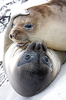 Two Southern elephant seals hugging in Falkland Islands (Southern elephant seal )
