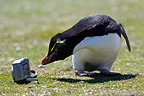 Rockhopper penguin observing a camera in Falkland Islands (Rockhopper penguin)