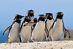 Group of Rockhopper penguins in Falkland Islands (Rockhopper penguin)