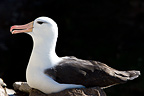 Black-browed albatross incubating in Falkland Islands (Black-browed albatross)