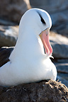 Portrait of Black-browed albatross grooming Falkland Islands (Black-browed albatross)