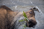 Elk shaking his head and splashing Yukon Canada (Elk)