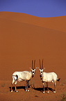Arabian oryx released in the desert Saudi Arabia  (Arabian oryx)