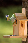 Blue Tit perched on a ball with fat and seeds France  (Blue Tit)