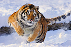 Siberian Tiger running in the snow (Siberian tiger)