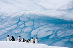 Gentoo Penguins on an iceberg Antarctica (Gentoo penguin)