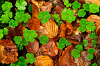 Clover and beech leaves in undergrowth Haute-Loire France