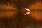 Great egret on Vendres pond at twilight France (Great Egret)