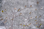 Goldfinches on a shrub in the snow, France
