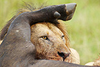 Lion eating a Cape Buffalo Masai Mara Reserve Kenya  (African lion)