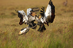 Grey Crowned-Cranes fighting Masai Mara Reserve Kenya (Grey Crowned-Crane)