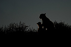 Silhouette of a Leopard with its young Kalahari South Africa (African leopard)