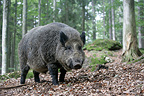 Wild boar undergrowth Germany (Wild boar)