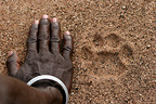 Fingerprint leg of african Leopard and hand of masai man (African leopard)