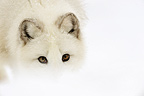 Portrait of an Arctic fox searching for food (Arctic fox)