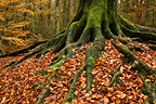 Roots of european beech under dead leaves Netherlands