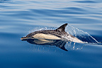 Common Dolphin in the Strait of Gibraltar (Short-beaked saddle-backed  (common) dolphin)