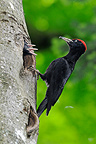Black Woodpecker feeding her chicks Franche Comte France  (Black Woodpecker)