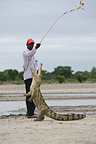 Man attracting Crocodile with chicken Bazoulé Burkina Faso  (Nile Crocodile )