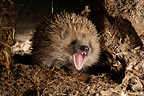 Hedgehog in his underground shelter France (Western european hedgehog )