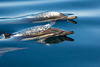 Common dolphins swimming on the surface Gulf of California (Short-beaked saddle-backed  (common) dolphin)