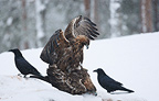 Mating of Golden eagles in the snow in winter Finland (Golden Eagle)