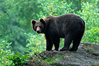 Brown bear on a rock Bayerisher Wald Germany (Brown bear)