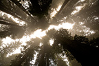 Mist in Redwoods National Park California USA�