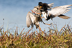 Male Ruffs fighting for hierarchy Lapland (Ruff)