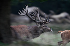 Red Deer pursuing a hind Dyrehaven park Denmark (Red deer)