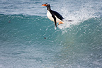Gentoo penguin surfing Sea Lion Island Falklands (Gentoo penguin)