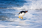 Gentoo penguin jumping out of water Falkland Islands (Gentoo penguin)