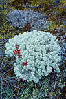 Lichen in autumn Lapland Finland