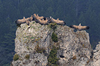 Eurasian Griffon Vultures on a rock, France