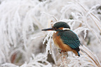 Common Kingfisher perched on a branch frost (Kingfisher)