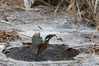 Common Kingfisher fishing in frost water (Kingfisher)