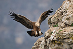 Eurasian Griffon Vulture landing on a rock, France