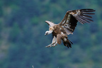 Eurasian Griffon Vulture coming in to land, France