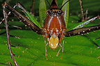 Portrait of a Grasshopper French Guiana